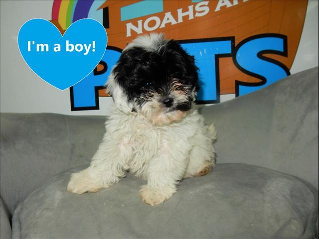 Gorgeous Shoodle/Shi Poo (Shih Tzu x Toy Poodle) puppies!