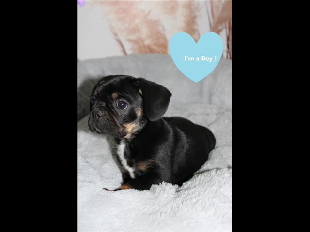REDUCED French Bulldog x Pug Puppies