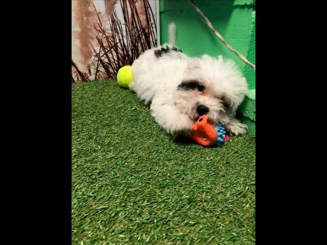 OPEN ALL EASTER!!!! Maltese x Shih Tzu Puppies!