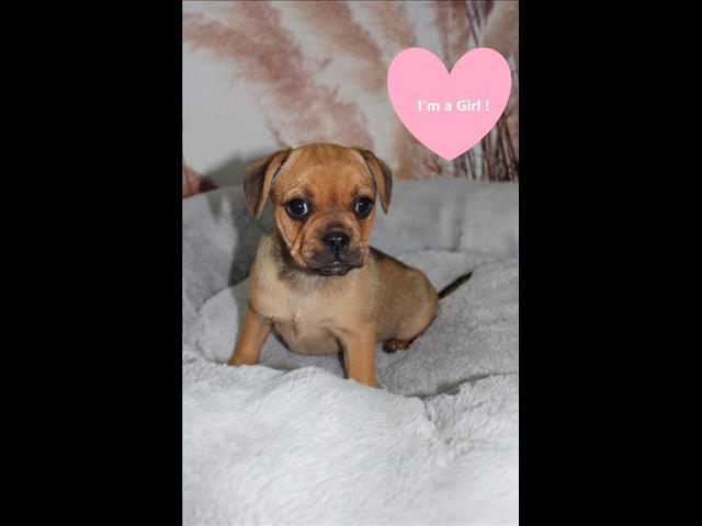 WEEKEND SPECIAL! French Bulldog x Puppy!