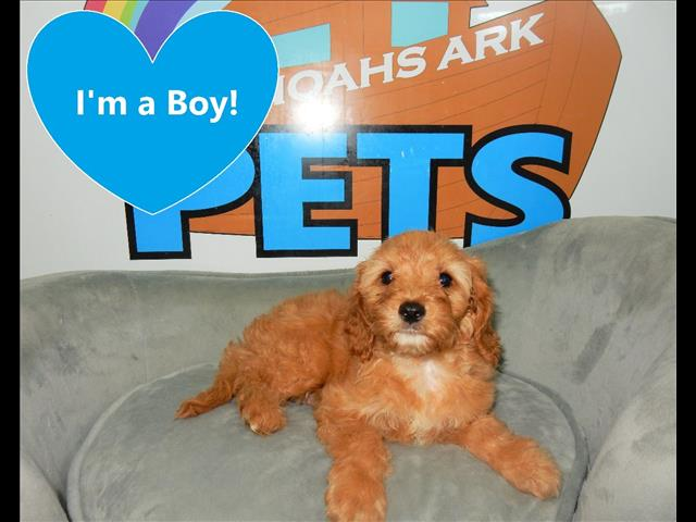 Toy Cavoodle Puppies!(Cavalier King Charles Spaniel x Toy Poodle)
