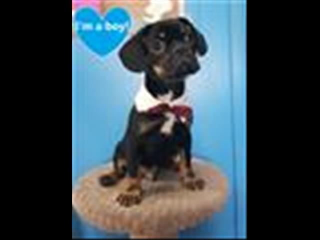 Meet PRESTON the French Bulldog x Pug pup