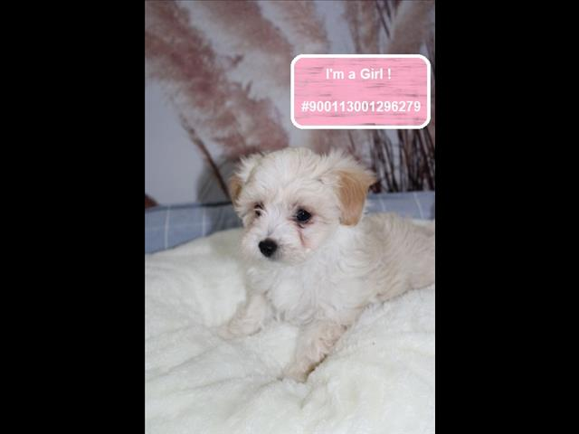 NEW LITTER! Maltese x Shih Tzu Puppies