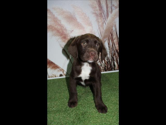 ONE LEFT!!! Labrador x English Springer Spaniel puppies!