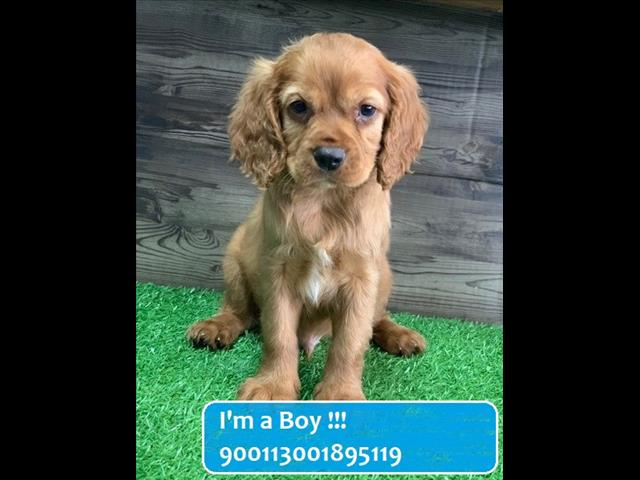 Red Cavoodle (3/4 Cavalier x Poodle) Puppies!