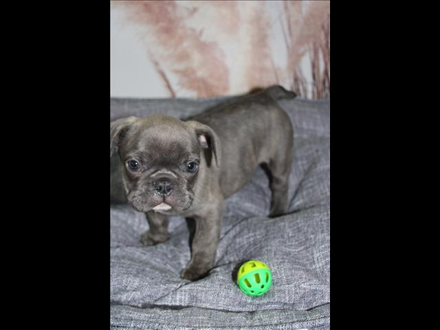 Dogs BLUE French Bulldog Puppy *payment options available* for sale