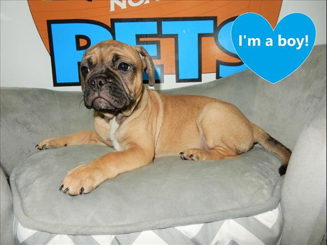 Frug (French Bulldog x Pug) puppies - CALL NOW!!!