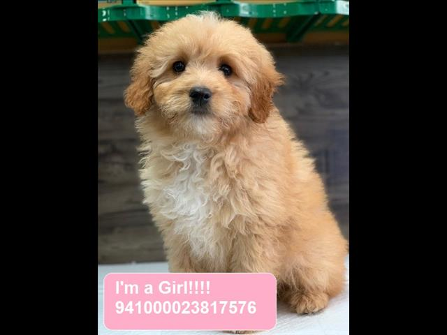 Bordoodle (Border Collie x Poodle) puppies - Call now!!!