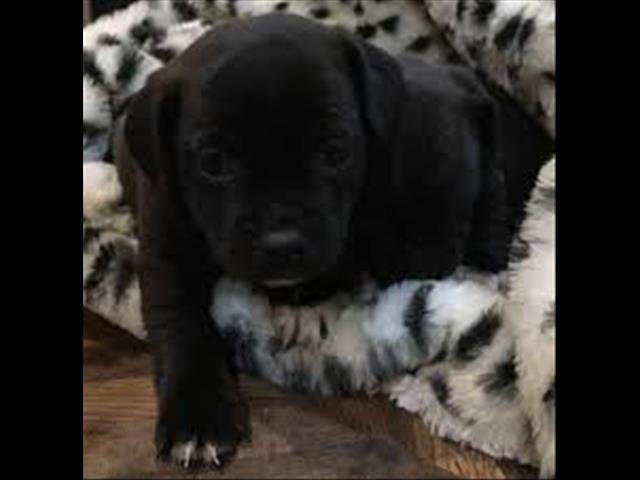 OPEN ALL EASTER!!!!  Black Jugs (Pug x Jack Russell) - Ready for their new homes now!