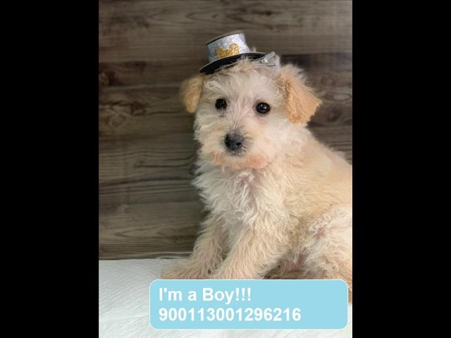 LAST ONE!! Jackapoo (Jack Russell Terrier x Poodle) puppy