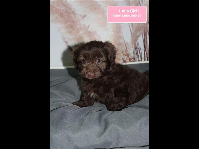 Gorgeous Moodle Puppies - *Payment options available*
