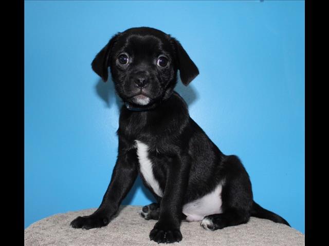 SALE SALE SALE - Pugalier Puppies!!!