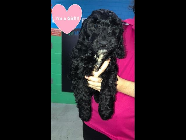 OPEN ALL EASTER!!!! Spoodle Puppies (Cocker Spaniel x Poodle)