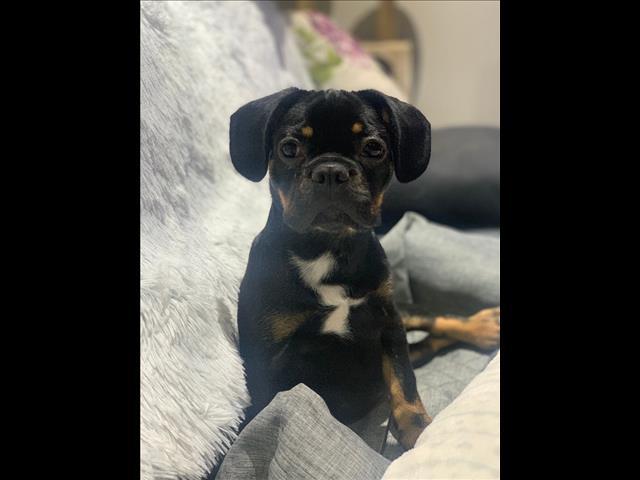 French Bulldog x Pug Puppy!