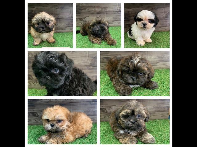 Shihtzu Puppies - HYPOALLERGENIC- ready to go