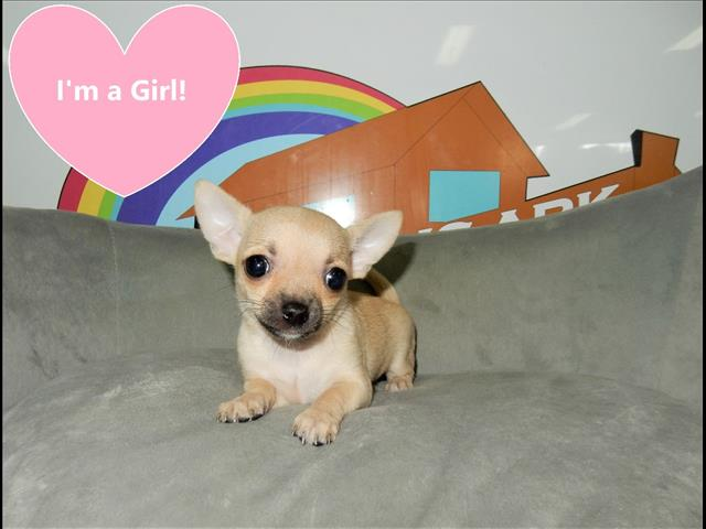 Fawn Chihuahua Puppy