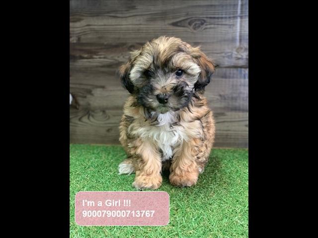 Sable Shoodle Puppies (Shih Tzu x Poodle)
