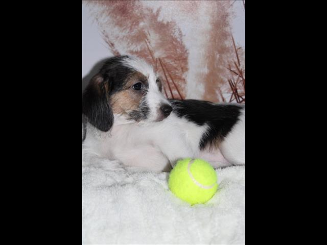 ONE LEFT!! Beagle x puppy - Female!