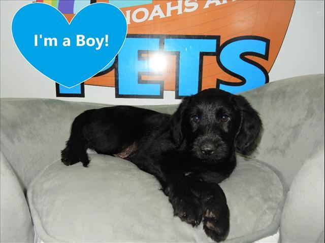 PRICE REDUCED!! Labradoodle Puppies (Labrador x Miniature Poodle)