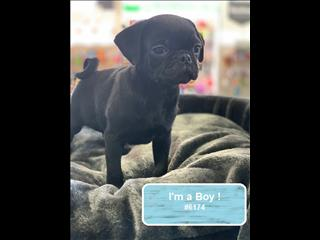 Pug Puppies!! Black & Fawn available *Payment options available!*