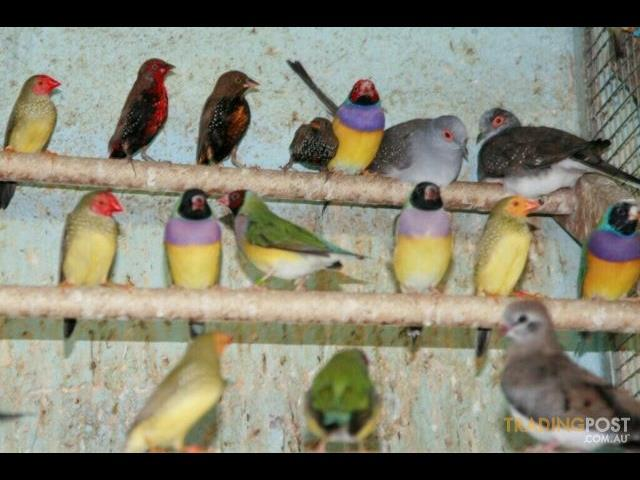 Australian Native Finches