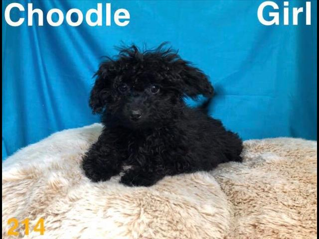 Toy choodle (chihuahua x Toy poodle) in Perth, Western australia