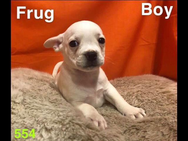 Frug (1/2 french bulldog, 1/2 pug) in Perth, Western Australia
