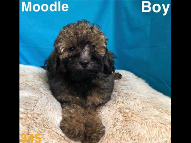 Moodle  (maltese x toy poodle), in Perth western Australia