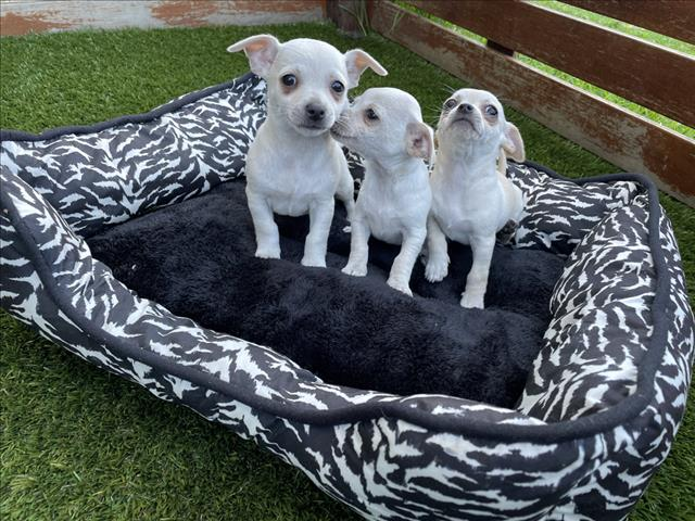 DNA Clear Teacup Toy Chihuahua Puppies, The most loving little babies ever!!