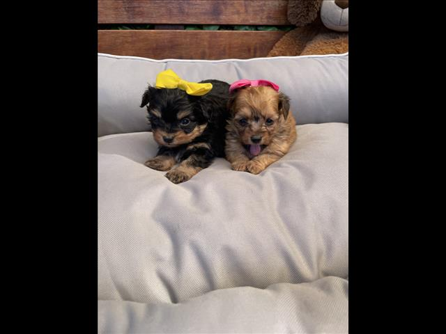 Miniature Pomeranian x Toy Poodle Puppies are looking for special loving families!!