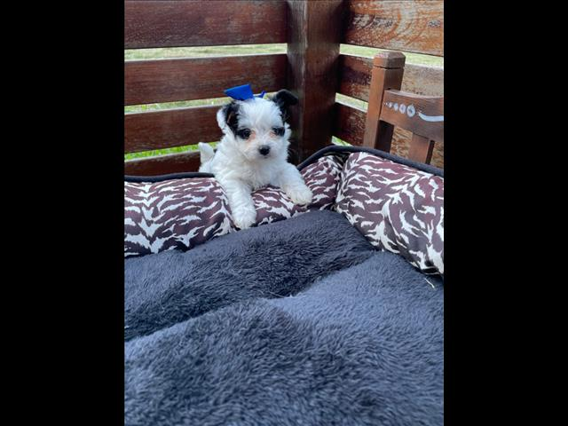 Toy Poodle x Miniature Papillon Puppies!!  LOVING HOME ONLY PLEASE! - ONE LEFT!!