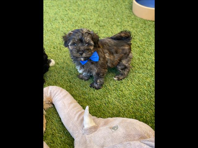 Our amazing Toy Poodle x Puppies are looking for loving homes!