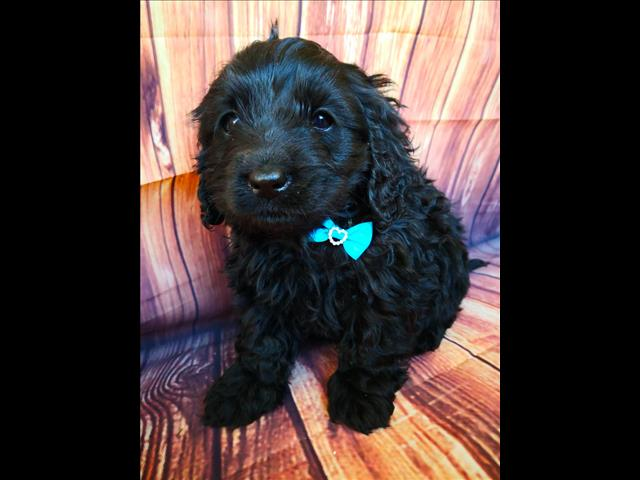 Adorable BLACK CAVOODLES available for adoption NOW