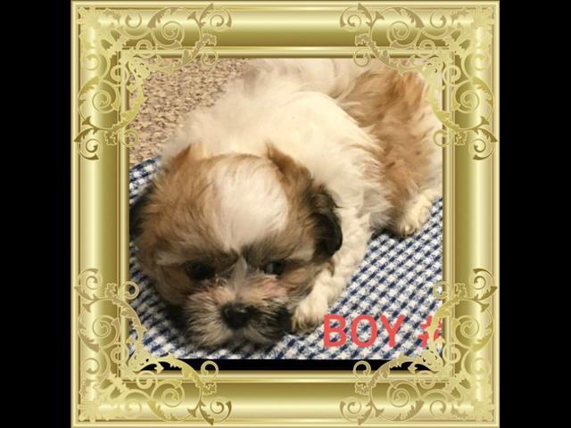 Dogs New Maltese X Shih Tzu Puppies For Sale In Carrara Best Pet